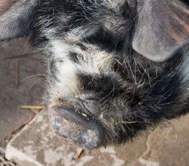 Kunekune Pigs Update